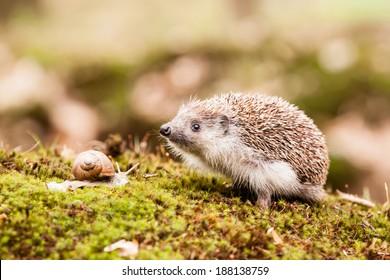 Eastern European Hedgehog sniffing something