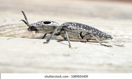 Eastern Eyed Click Beetle or Eyed Elater, is a species of the Click Beetle with an elongated black body and dark swatches to defend against predators.
