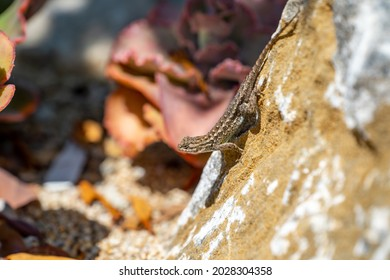 Eastern Fence Lizard (Sceloporus undulatus) sitting on a rock.