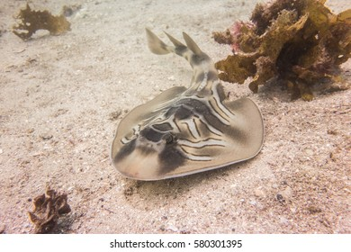 Eastern fiddler ray near Manly Beach in Sydney, Australia.
