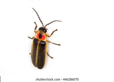Eastern Firefly (Photinus pyralis) isolated on a white background