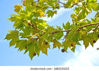 Eastern flowering platan (Platanus orientalis L.) against the background of a blue sky