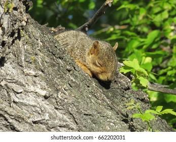 Eastern fox squirrel (sciurus niger) sunning on a tree branch.