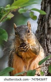 Eastern fox squirrel (Sciurus niger) sitting in a tree eating a nut.