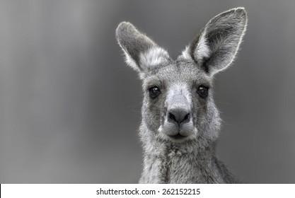Eastern Gray Kangaroo (Macropus giganteus) portrait
