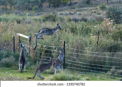 Eastern gray kangaroos jumping over a fence of a farm in the outback of Canberra Australia Capital Territory