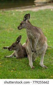 Eastern Gray Kangaroos, one standing looking over the other laying in the grass