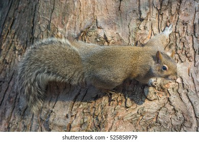 Eastern gray squirrel clinging to the bark of a tree.