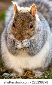 Eastern Gray Squirrel eating seeds.
