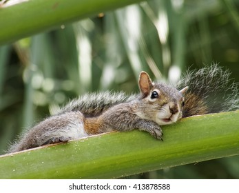 Eastern Gray Squirrel lying down on palm frond of Cabbage Palm Tree
