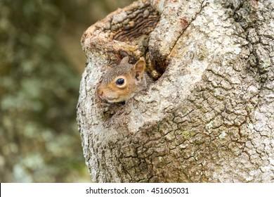Eastern Gray Squirrel Peeking from Oak Tree Hollow.