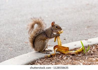 Eastern gray squirrel (Sciurus carolinensis) eating a banana peel - Pembroke Pines, Florida, USA