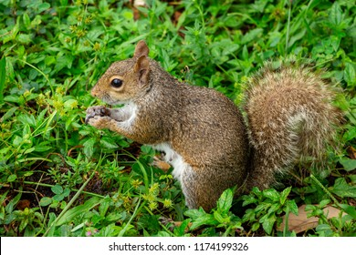Eastern gray squirrel (Sciurus carolinensis) eating an insect - Topeekeegee Yugnee (TY) Park, Hollywood, Florida, USA