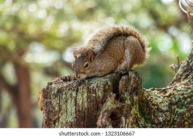Eastern gray squirrel (Sciurus carolinensis) in defensive posture with tail over back - Topeekeegee Yugnee (TY) Park, Hollywood, Florida, USA