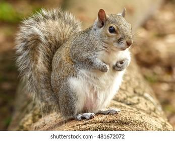 Eastern gray squirrel (Sciurus carolinensis) on a log