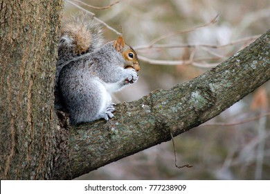 An eastern gray squirrel sitting on a tree branch eating an acorn