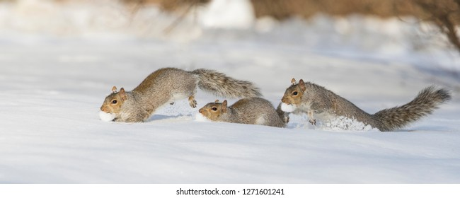eastern gray squirrel winter running in snow panorama