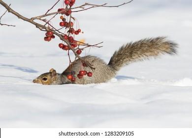 eastern gray squirrel winter running in snow