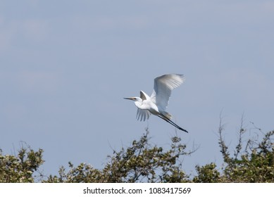 Eastern great egret Ardea alba modesta in flight, Fukuoka, Japan
