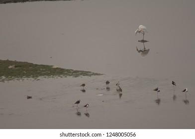 Eastern great egret (Ardea alba modesta) scratching and waders. Yamuna river. Agra. Uttar Pradesh. India.