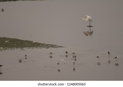 Eastern great egret (Ardea alba modesta) and waders. Yamuna river. Agra. Uttar Pradesh. India.