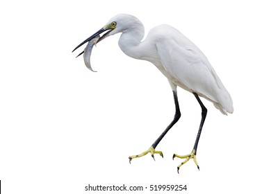 Eastern Great Egret Eating Fish In Mount - isolated