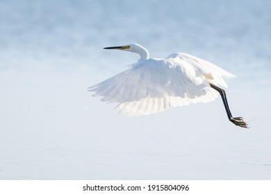 Eastern Great Egret flying over water- High Key. Scientific name Ardea Alba  Modesta