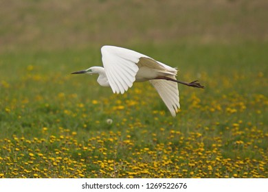 Eastern great egret at Lake Neusiedl in Burgenland in Austria