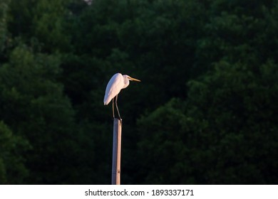 A Eastern Great Egret standing on a bamboo on green of Mangrove forest background.