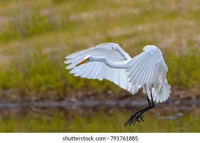 Eastern Great White Egret in Flight