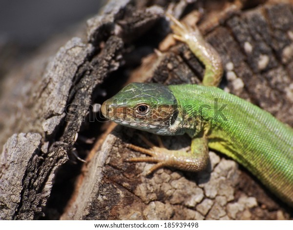 Eastern Green Lizard (female) , Lacerta viridis