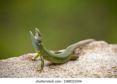 Eastern green lizard, Lacerta viridis,basking on rocks.