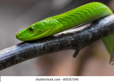 The eastern green mamba (Dendroaspis angusticeps), also known as the common mamba, East African green mamba,