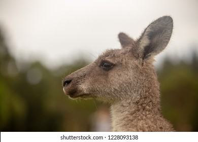 Eastern Grey Cangaroo