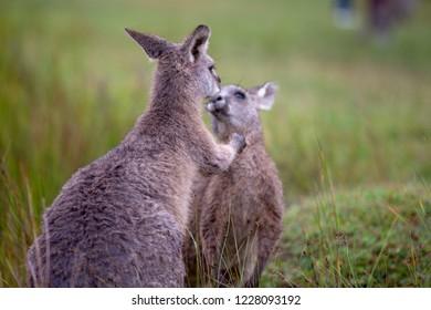 Eastern Grey Cangaroo Kissing