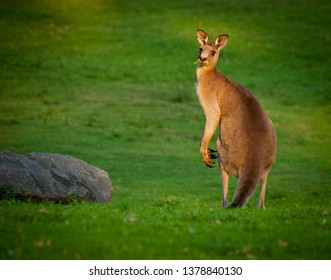 Eastern Grey Kangaroo. Australian marsupial next to boulder on lush lawn looks over shoulder at sunset. New South Wales.