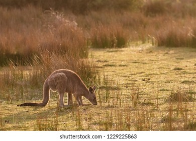 An eastern grey kangaroo encountered at sunset in Wilsons Promontory national park, Victoria, Australia