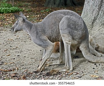 Eastern grey kangaroo or giant kangaroo. Latin name -  Macropus giganteus