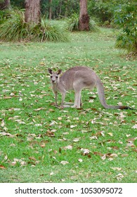 Eastern Grey Kangaroo grazing at Darlington Beach Resort