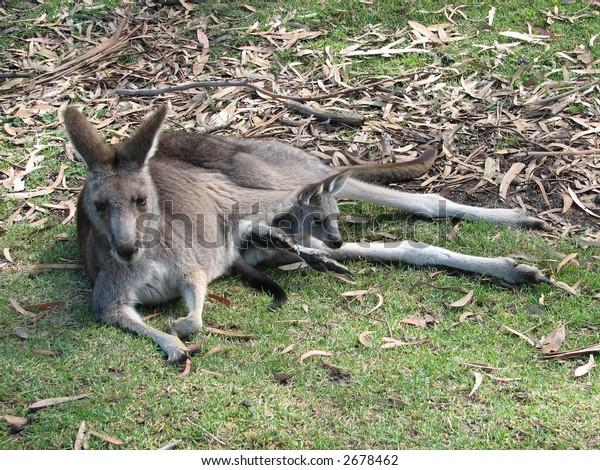eastern grey kangaroo and joey