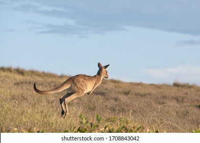 Eastern grey kangaroo jumping through brown grass