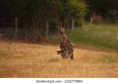 An Eastern Grey Kangaroo with a large joey in its pouch