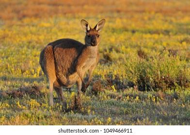 Eastern grey kangaroo (Macropus giganteus) Coorong National Park Australia.