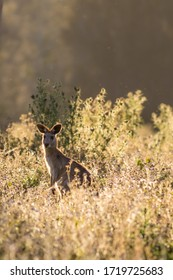 Eastern grey kangaroo (Macropus giganteus) in meadow at sunset. Gold Coast, Queensland, Australia