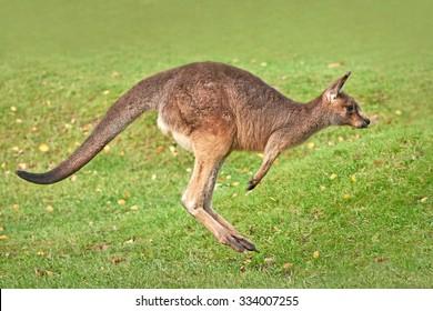 Eastern grey kangaroo (Macropus giganteus) jumping in grass in its habitat
