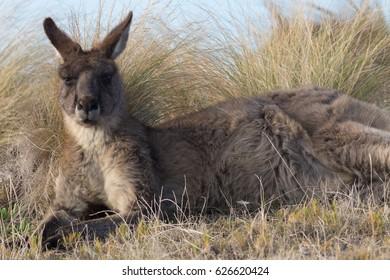 Eastern Grey Kangaroo (Macropus giganteus) laying in grass. Maria Island, Tasmania, Australia.