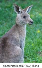 Eastern grey kangaroo (Macropus giganteus) joey grazing on grass. Currumbin Valley, Queensland, Australia.