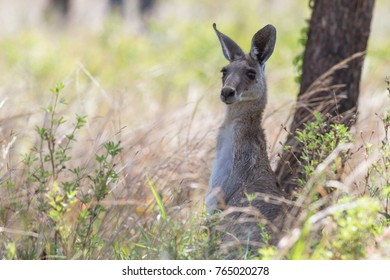 Eastern grey kangaroo (Macropus giganteus) in scrub. Mount Surprise, Queensland, Australia.