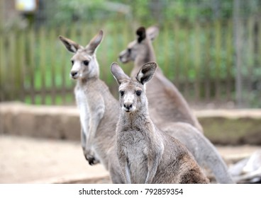 Eastern Grey Kangaroo, seen around outer rural areas of Sydney and Melbourne, Australia