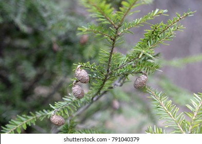 Eastern hemlock tree branch with little immature pine cones.